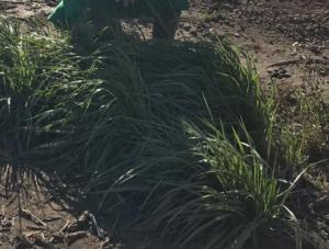 cubiertas vegetales cultivo cítricos
