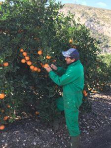 naranjas naturales naranjo agricultura sostenible variedad cara cara