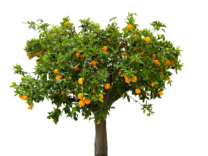 regala árbol de naranjas
